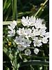 Small flowered pink garlic - allium cowanii - chemical-free grown