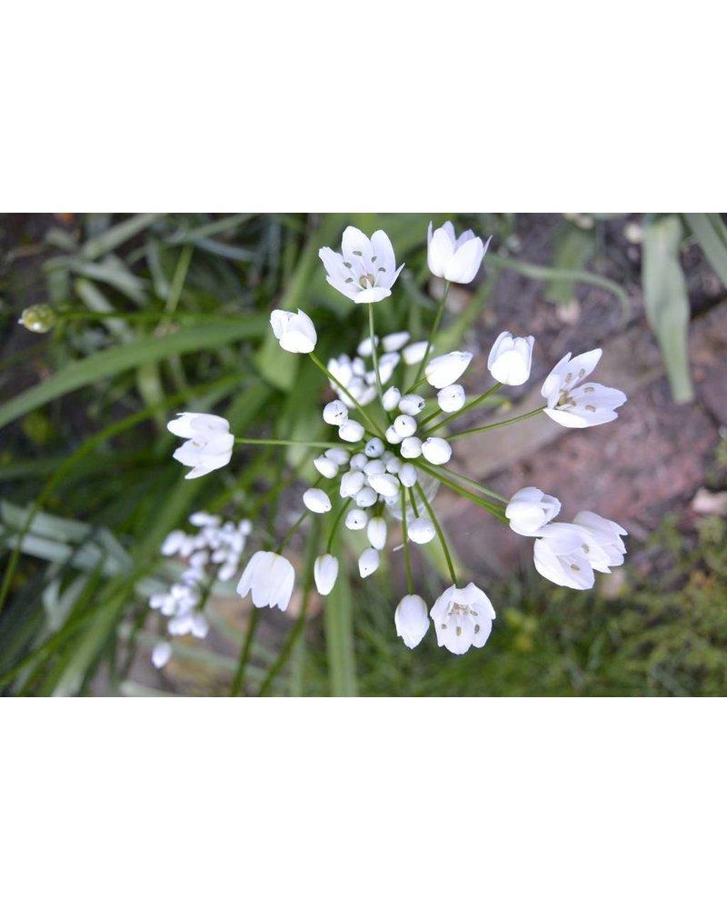 Kleinbloemige sierui Cowanii - allium cowanii - chemievrij geteeld