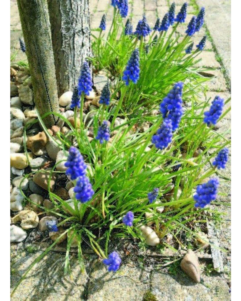 Druifje blauw  - muscari armeniacum - chemievrij geteeld