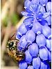 Grape hyacinth - muscari armeniacum - chemical free grown