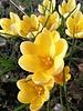 Vroege krokus Romance  - crocus chrysanthus  Romance - chemievrij geteeld