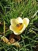 Crocus chrysanthus  Romance - chemical free grown