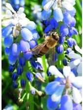 Muscari Lady Blue