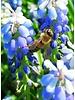 Traubenhyazinthe - muscari Lady Blue - chemiefreier Anbau