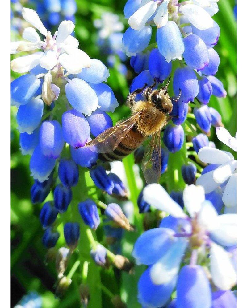 grape hyacint - muscari Lady Blue - chemical-free grown