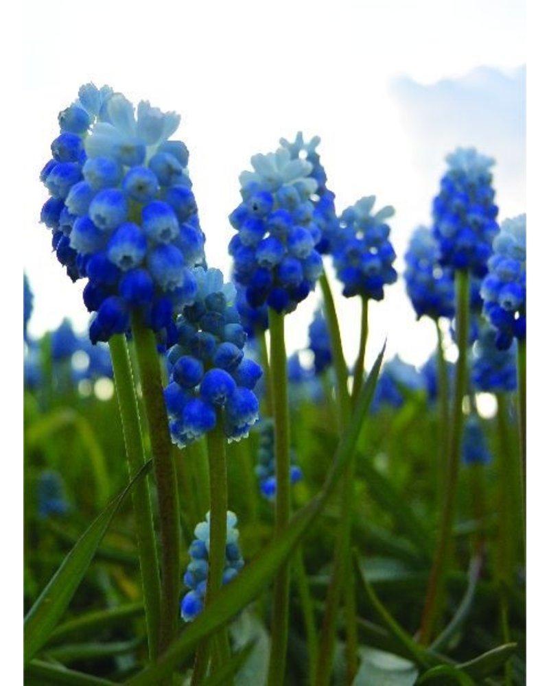 Druifje Lady Blue  - muscari Lady Blue - chemievrij geteeld