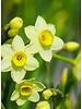 Daffodil  Minnow - chemical free grown