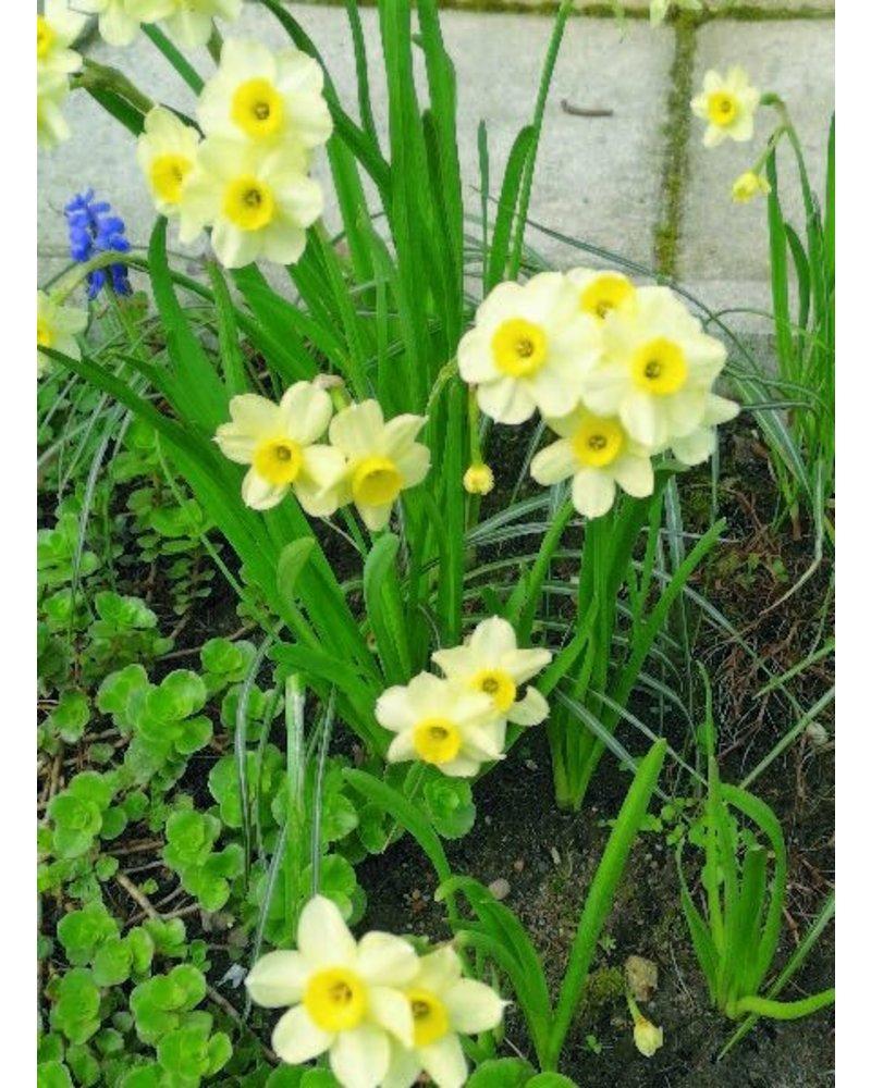 Narcissus Minnow - chemiefreier Anbau