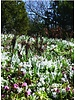 Glory of the snow - Chionodoxa luciliae Alba - chemical free grown