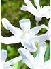 Sneeuwroem Alba - Chionodoxa luciliae alba - chemievrij geteeld