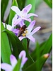 Glory of the snow - chionodoxa forbesii Pink Giant - chemical free grown