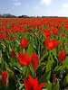 Botanisch rood tulpje Praestans Zwanenburg - chemievrij geteeld