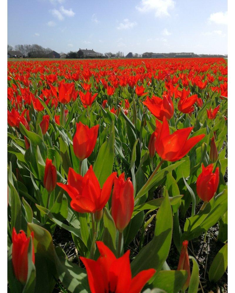 Zwergtulpe tulipa Praestans Zwanenburg - chemiefreier Anbau