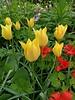 Zwergtulpe Batalinii Bronze Charm - botanische Tulpe -chemiefreier Anbau