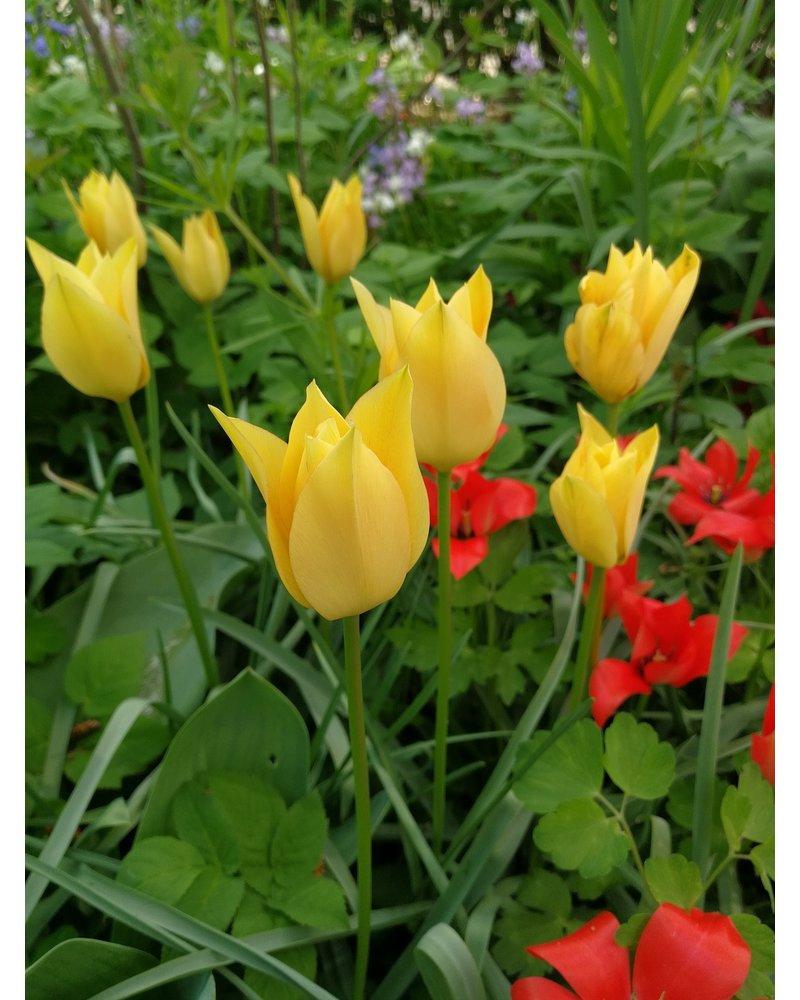 Botanisch tulpje Batalinii Bronze Charm - tulipa batalinii bronze charm - chemievrij geteeld