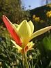Tulipa Clusiana Tinka - chemical free grown