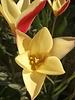 Botanisch Tulpje Clusiana Tinka - tulipa clusiana tinka - chemievrij geteeld