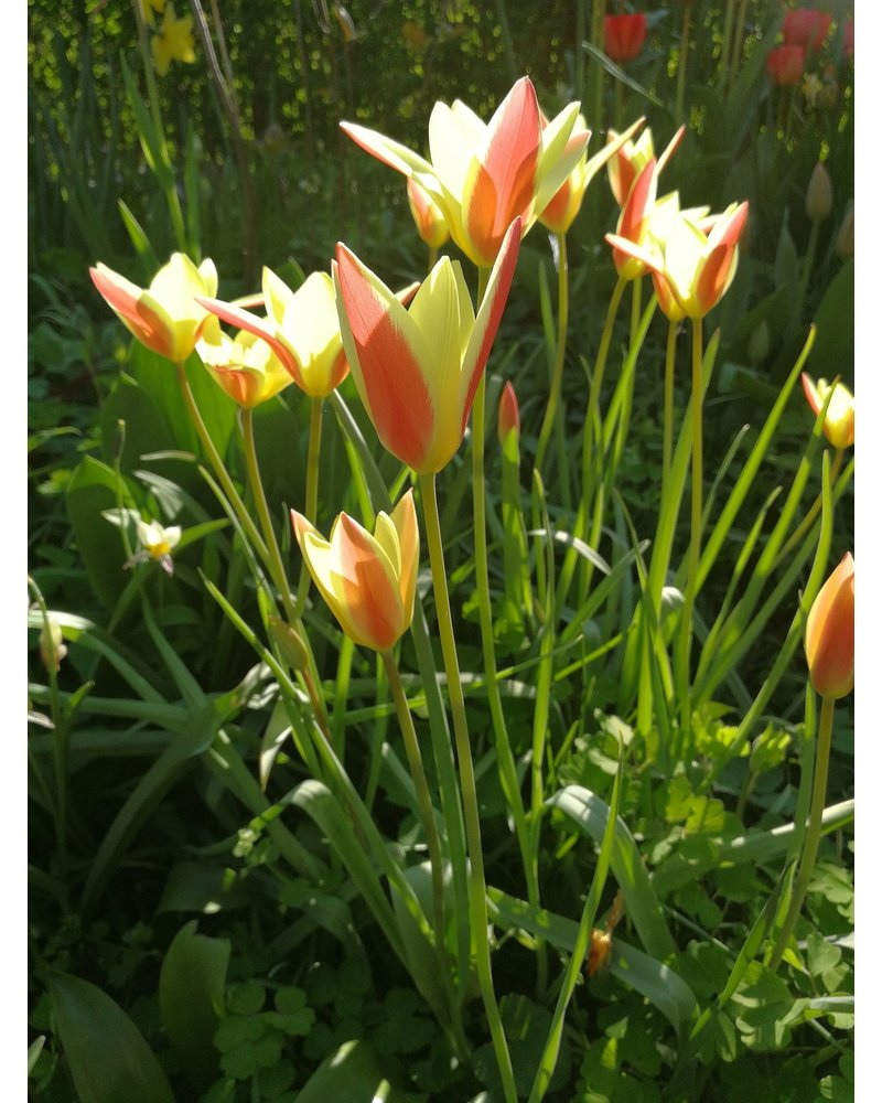 Tulipa Clusiana Tinka - chemical free grown