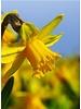 Narzisse Tete a Tete, botanical - chemiefreier Anbau