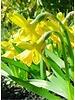 Narcis Tete a Tete, botanical - chemievrij geteeld