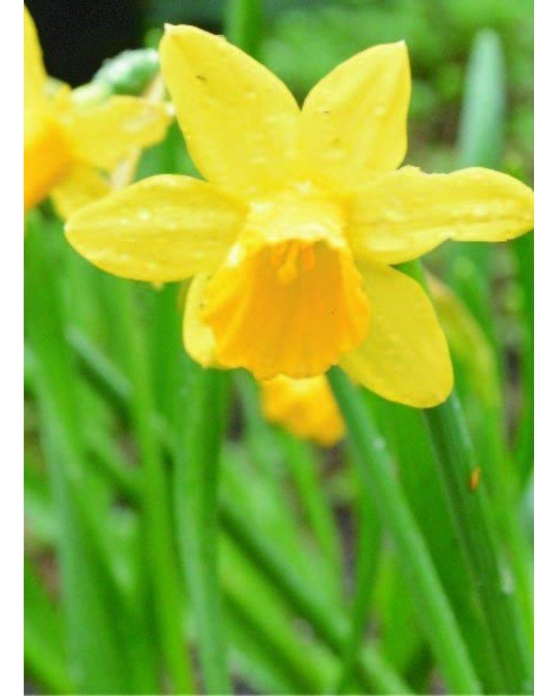 Daffodil Tete a Tete, botanical -chemical-free grown