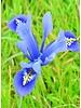 Iris reticulata harmony - chemievrij geteeld