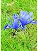 Netted iris - iris reticulata harmony - chemical free grown
