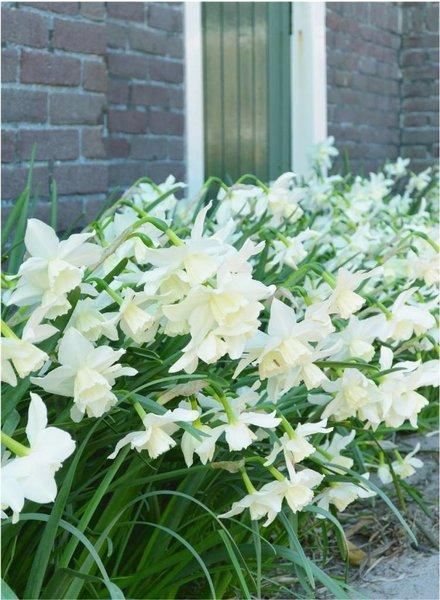 Daffodil Tresamble,  triandrus