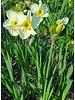 Narcis Papillon Blanc,  large cup - chemievrij geteeld