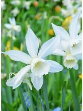 Daffodil Thalia,  triandrus