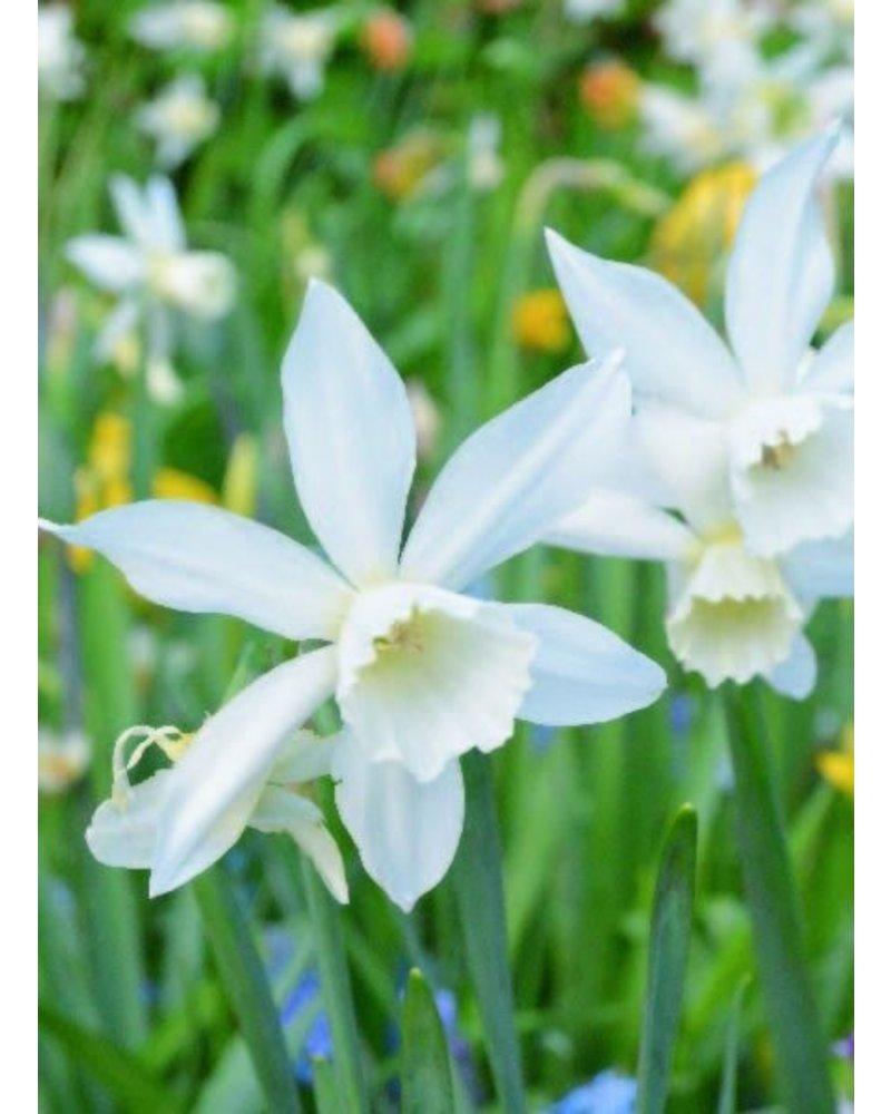 Daffodil Thalia,  triandrus - chemical-free grown