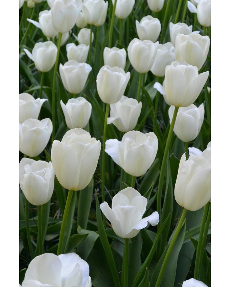 Tulip Catherina,  single late - chemical-free grown