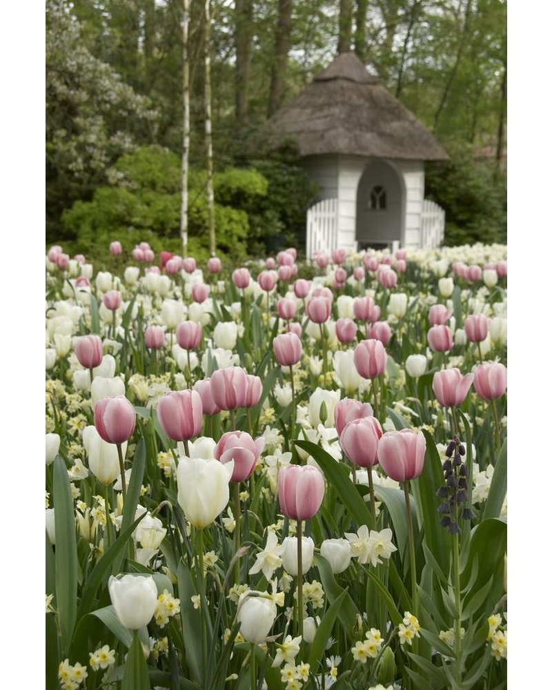 Siertulp Catherina,  single late - chemievrij geteeld