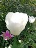 Tulpe Catherina,  single late - chemiefreier Anbau