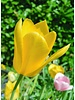 Tulip Muscadet,  single late - chemical-free grown