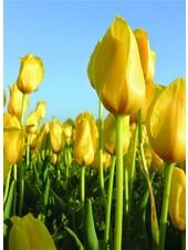 Tulipa Muscadet