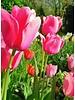 Tulp Pink Impression,  Darwin hybrid - chemievrij geteeld
