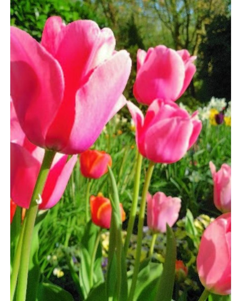 Tulip Pink Impression, Darwin Hybrid - chemical-free grown