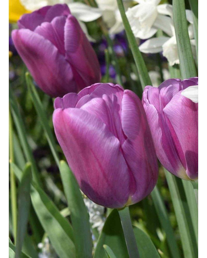 Tulipa Purple Flag - chemicalfree grown