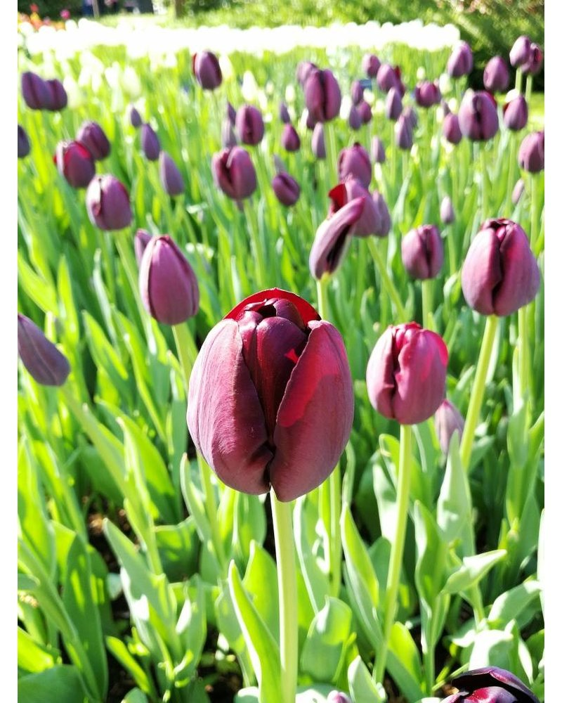 Tulip Queen of the Night - chemical-free grown