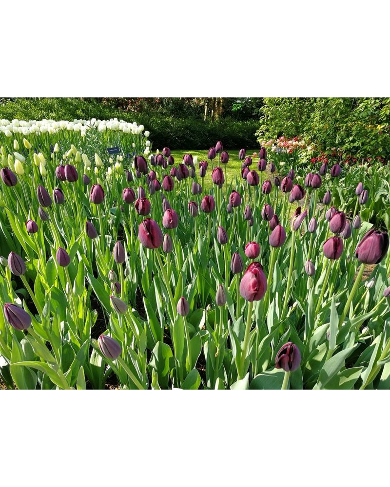 Tulip Queen of the Night - chemicalfree grown