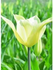 Tulipa Sapporo