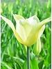 Tulpe Sapporo, chemiefreier Anbau