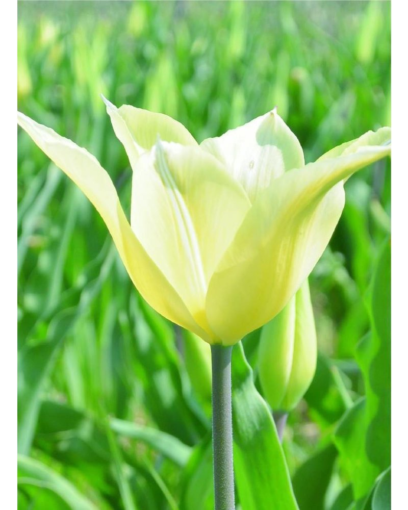 Tulip Sapporo, lily flowered, chemical-free grown
