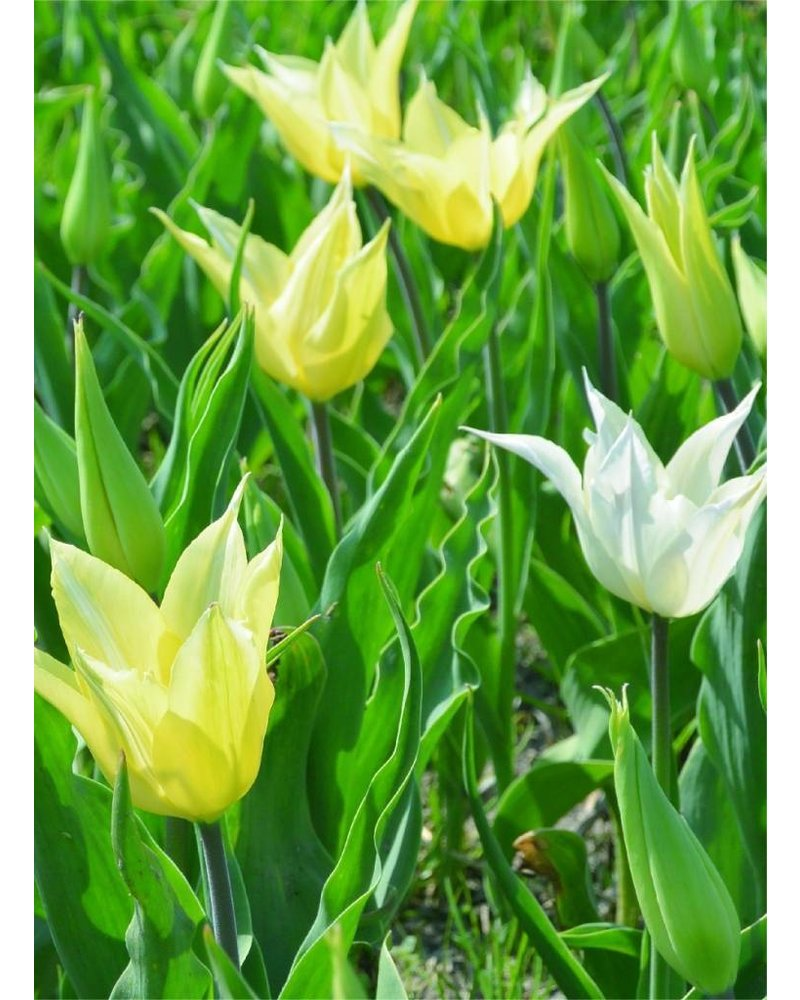 Tulip Sapporo, lily flowered, grown without chemicals