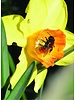 Narcis Dutch Master - chemical-free grown