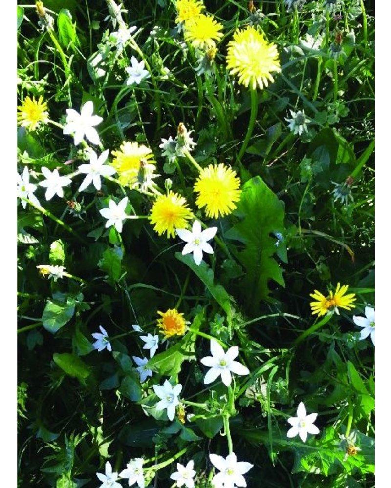 Star of Bethlehem - Ornithogalum balansea - chemical-free grown