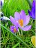 Boerenkrokus Barr's Purple - crocus tomassinianus barr's purple - chemievrij geteeld