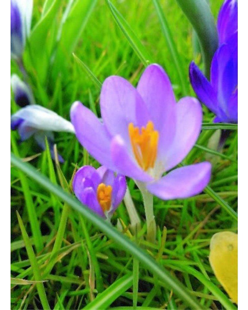 Botanical crocus - crocus tom.  Barr's Purple - grown free of chemicals