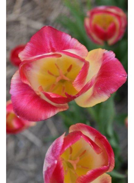 Tulipa Swiss Dream